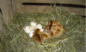 Jednodenní kuřátka (zdrobnělá vlaška koroptví)