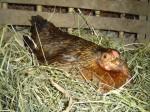 Kvočna na hnízdě